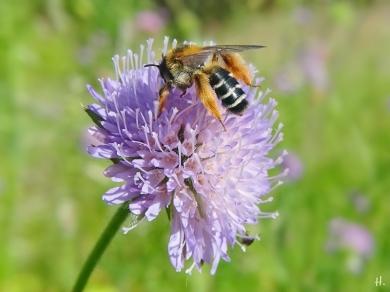 2021-06-09 LüchowSss Garten Acker-Witwenblume (Knautia arvensis) + Raufüssige Hosenbiene (Dasypoda hirtipes)