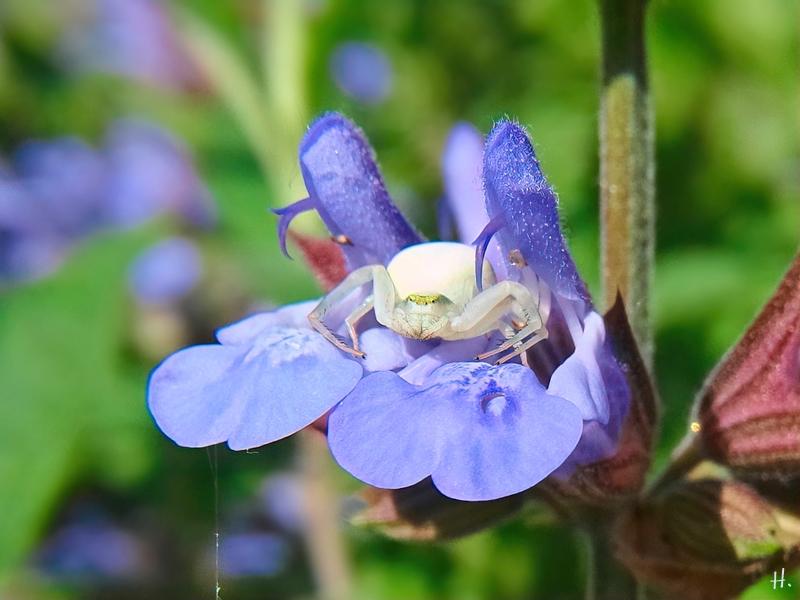 2021-06-09 LüchowSss Garten Gewürz-Salbei (Salvia officinalis) + Veränderliche Krabbenspinnne (Misumena vatia) w.