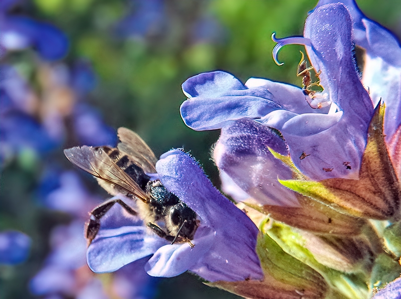 2021-06-09 LüchowSss Garten Gewürz-Salbei (Salvia officinalis) + Wildbiene + Ameise