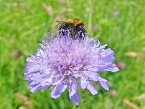 2021-06-10 LüchowSss Garten Acker-Witwenblume (Knautia arvensis) + Baumhummel (Bombus hypnorum)