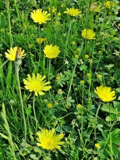 2021-06-10 LüchowSss Garten Mausohr-Habichtskraut (Hieracium pilosella) (1)