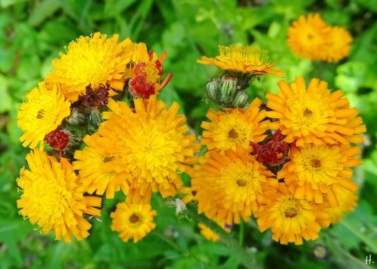 2021-06-10 LüchowSss Garten Orangerotes Habichtskraut (Hieracium aurantiacum)