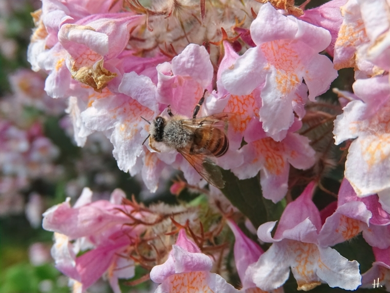 2021-06-10 LüchowSss Garten Perlmuttstrauch (Kolkwitzia amabilis) + Honigbiene (Apis mellifera)