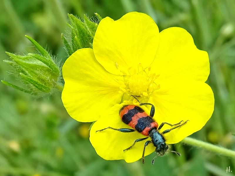 2021-06-11 LüchowSss Garten Hohes Fingerkraut (Potentilla recta) + Gemeiner Bienenkäfer (Trichodes apiarius)