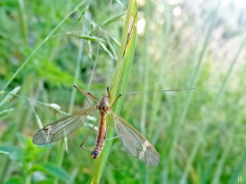 2021-06-11 LüchowSss Garten 'Mondflecken'-Schnake (Tipula lunata) Männchen