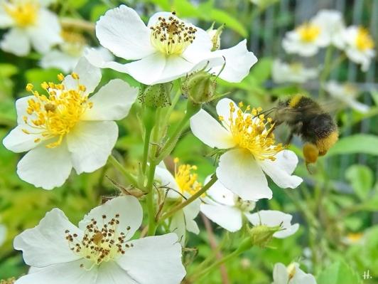 2021-06-12 LüchowSss Garten Büschelrose (Rosa multiflora) + Wiesenhummel (Bombus pratorum)