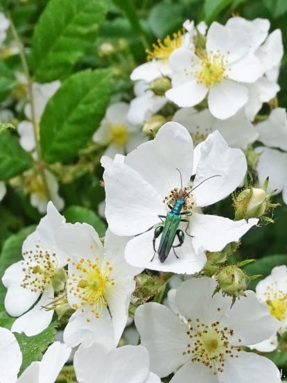2021-06-12 LüchowSss Garten Büschelrose (Rosa multiflora) + Grüner Scheinbockkäfer (Oedemera nobilis) männlich