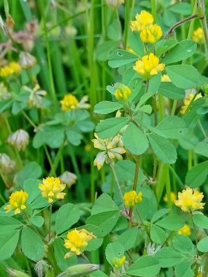 2021-06-12 LüchowSss Garten Faden-Klee (Trifolium dubium), Kleiner Klee, Zweifelhafter Klee