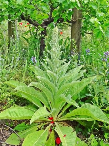 2021-06-12 LüchowSss Garten Kandelaber-Königskerze (Verbascum olympicum)