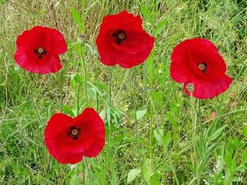 2021-06-12 LüchowSss Garten Klatschmohn (Papaver rhoeas) 4 Blüten