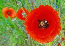 2021-06-12 LüchowSss Garten Klatschmohn (Papaver rhoeas) mit Gartenhummel (Bombus hortorum)