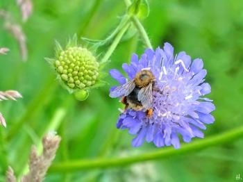 2021-06-13 LüchowSss Garten Acker-Witwenblume (Knautuia arvensis) + Baumhummel (Bombus hypnorum)