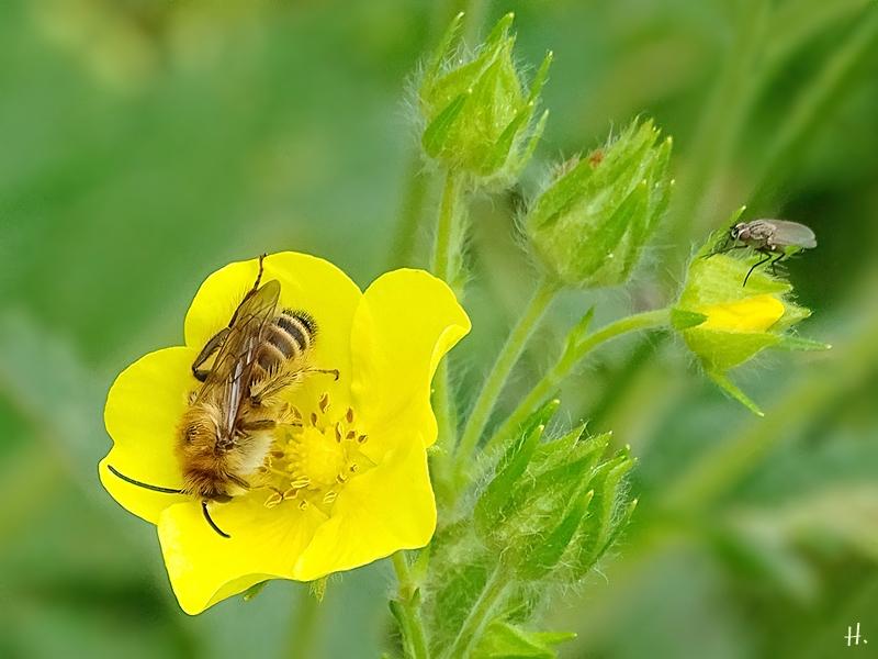 2021-06-13 LüchowSss Garten Hohes Fingerkraut (Potentilla recta) + Seidenbiene (Colletes) männlich