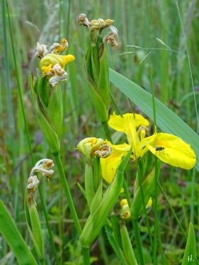 2021-06-13 LüchowSss Garten Sumpf-Schwertlilie (Iris pseudacorus) (1)