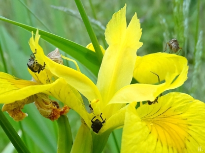 2021-06-13 LüchowSss Garten Sumpf-Schwertlilie (Iris pseudacorus) + Irisrüssler + Fliege + Ameisen