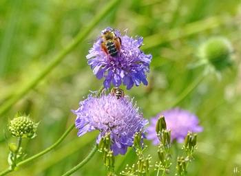 2021-06-14 LüchowSss Garten Acker-Witwenblumen (Knautia arvensis) + Braunbürstige Hosenbiene (Dasypoda hirtipes) + Gebänderte Furchenbiene (Halictus tumulorum) (1)