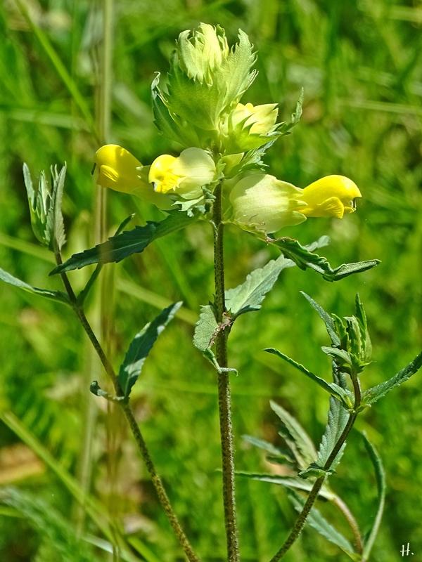 2021-06-14 LüchowSss Garten Kleiner Klappertopf (Rhinanthus minor)