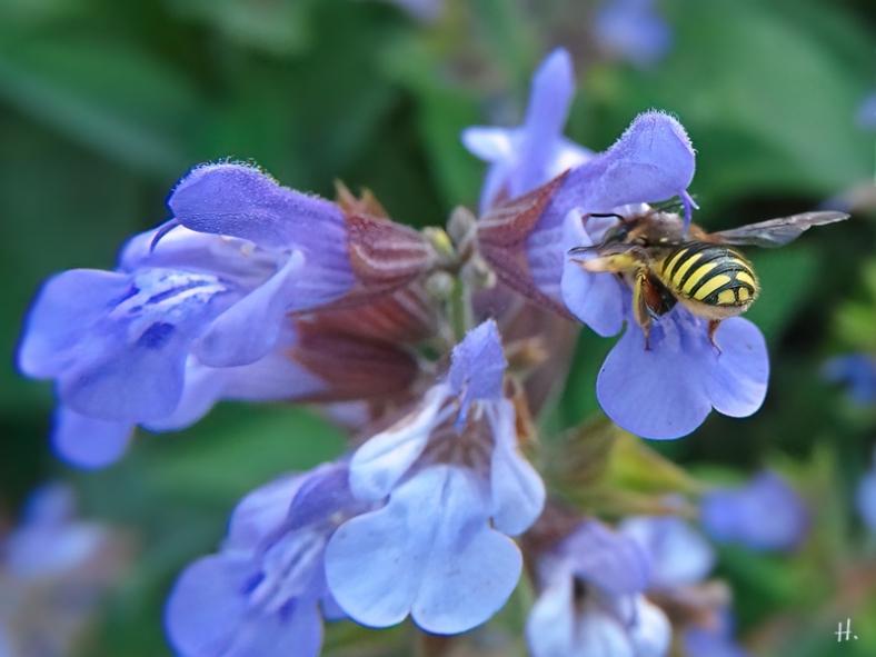 2021-06-15 LüchowSss Garten Gewürz-Salbei (Salvia officinalis) + Garten-Wollbiene (Anthidium manicatum)