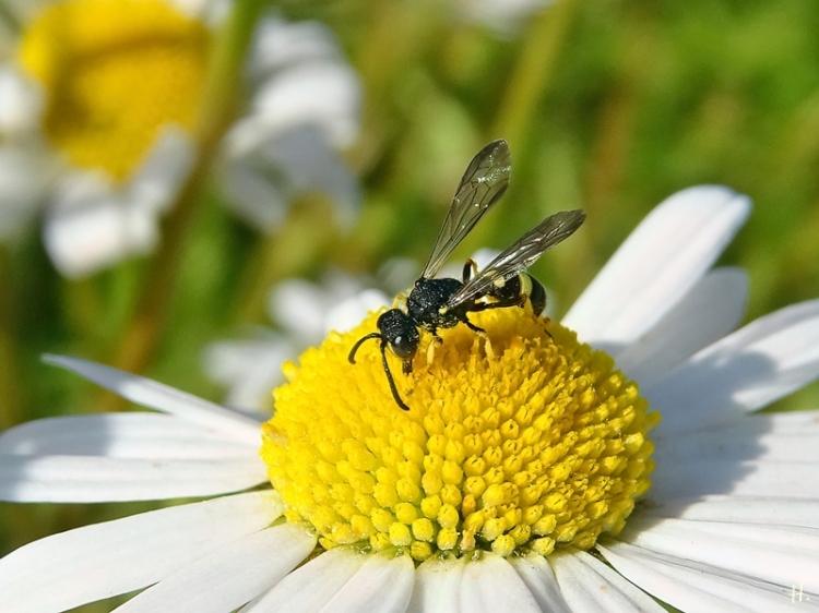 2021-06-15 LüchowSss Garten Wiesen-Margeriten + Echte Grabwespe (Crabronidae)