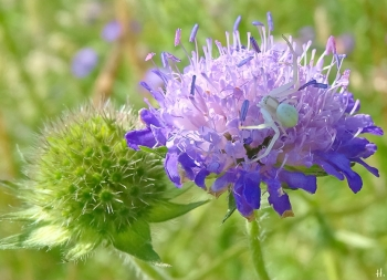 2021-06-16 LüchowSss Garten Acker-Witwenblume (Knautia arvensis) + Veränderliche Krabbenspinne (Misumena vatia) w.