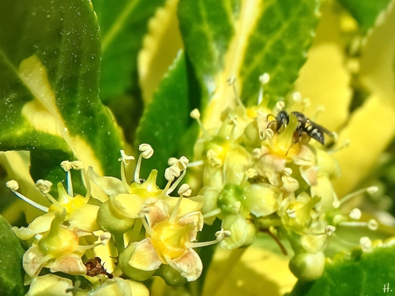 2021-06-16 LüchowSss Garten blühende Kriechspindel (Euonymus fortunei) + vermutl. Kleine Harzbiene (Anthidiellum strigatum syn. Anthidium strigatum)