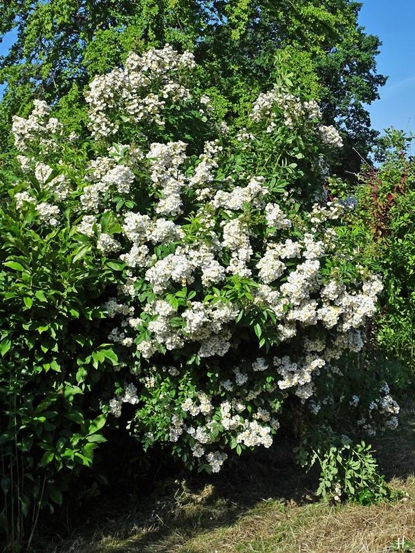 2021-06-16 LüchowSss Garten Büschelrose (Rosa multiflora) (2)