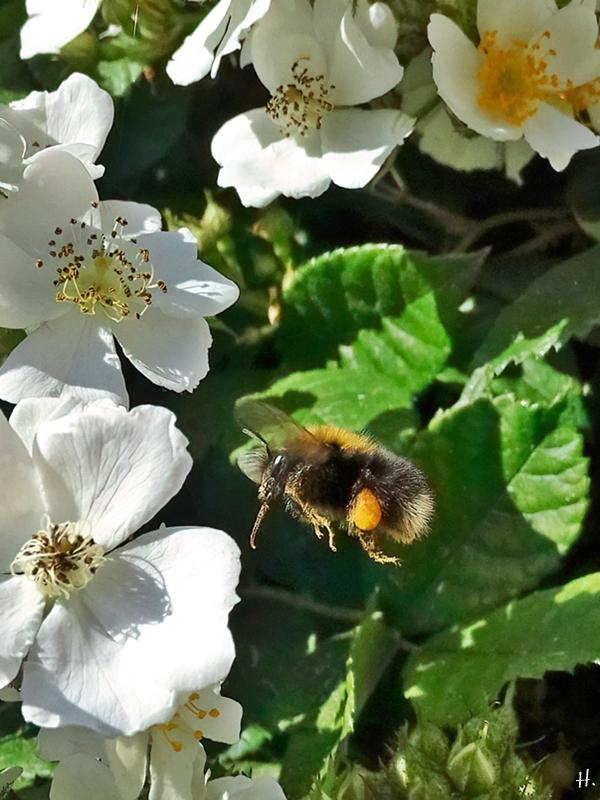 2021-06-16 LüchowSss Garten Büschelrose (Rosa multiflora) + Baumhummel (Bombus hypnorum) (3)
