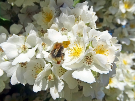 2021-06-16 LüchowSss Garten Büschelrose (Rosa multiflora) + Baumhummel (Bombus hypnorum) (4)