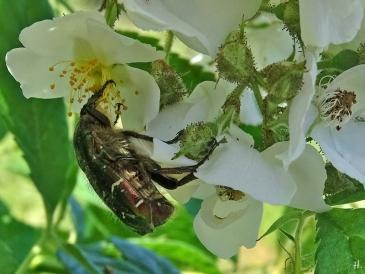 2021-06-16 LüchowSss Garten Büschelrose (Rosa multiflora) + Goldglänzender Rosenkäfer (Cetonia aurata) (1)