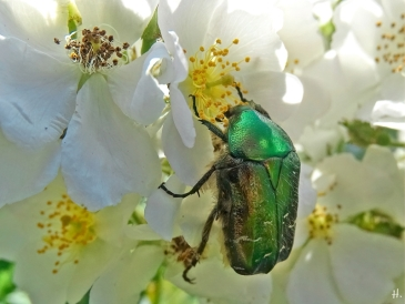2021-06-16 LüchowSss Garten Büschelrose (Rosa multiflora) + Goldglänzender Rosenkäfer (Cetonia aurata) (2)
