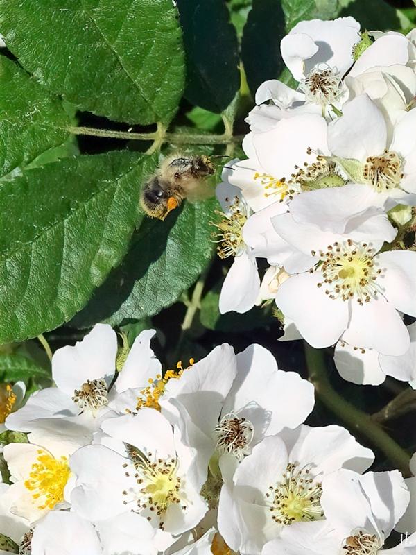 2021-06-16 LüchowSss Garten Büschelrose (Rosa multiflora) + Pelzbiene (Anthophora plumipes)