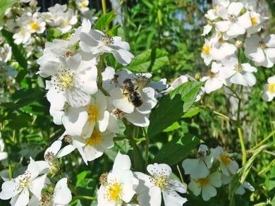 2021-06-16 LüchowSss Garten Büschelrose (Rosa multiflora) + bauchsammelnde Wildbiene, evtl Mauerbiene