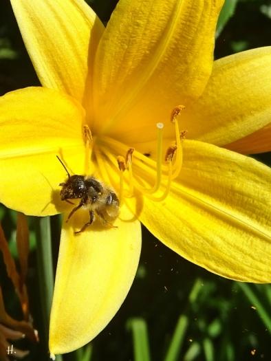 2021-06-16 LüchowSss Garten Gelbe Taglilie + Wildbiene (H)