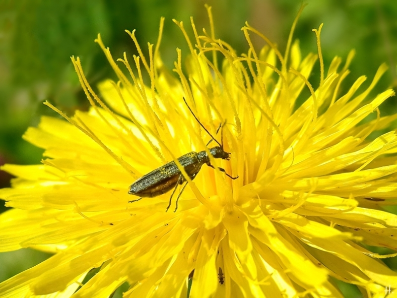 2021-06-16 LüchowSss Garten Gewöhnliches Ferkelkraut (Hypochaeris radicata) + weibl. Graugrüner Schenkelkäfer (Oedemera virescens)