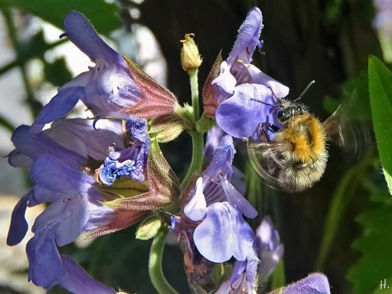 2021-06-16 LüchowSss Garten Gewürz-Salbei (Salvia officinalis) + Ackerhummel (Bombus pascuorum)