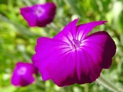 2021-06-16 LüchowSss Garten Vexier- bzw. Kronen-Lichtnelken (Lychnis coronaria) purpurf