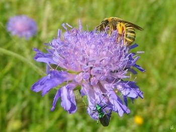 2021-06-17 LüchowSss Garten Acker-Witwenblume (Knautia arvensis) + Gelbbindige Furchenbiene (Halictus scabiosae) + Grüner Scheinbockkäfer (Oedemera nobilis)