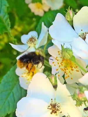 2021-06-17 LüchowSss Garten Büschelrose (Rosa multiflora) + Wiesenhummel (Bombus pratorum)