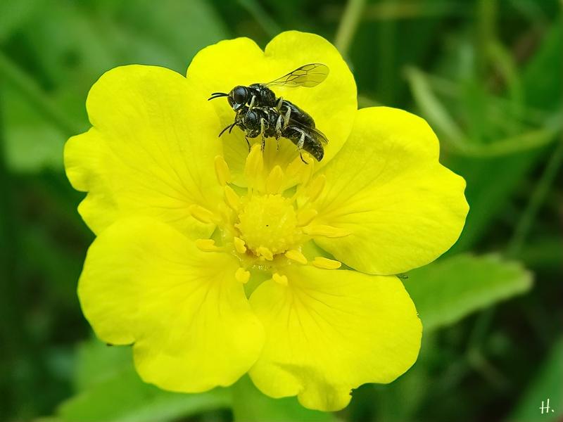 2021-06-17 LüchowSss Garten Hohes Fingerkraut (Potentilla recta) + kleine Wildbienen Paarung (2)