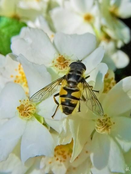 2021-06-18 LüchowSss Garten Büschelrose (Rosa multiflora) + Totenkopf-Schwebfliege (Myathropa florea)