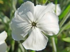2021-06-18 LüchowSss Garten Vexier- bzw. Kronen-Lichtnelke (Lychnis coronaria) weiss