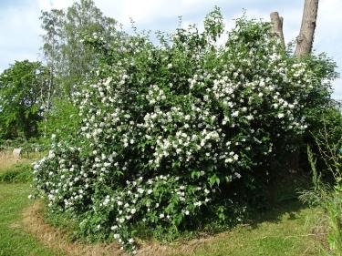 2021-06-19 LüchowSss Garten Bauernjasmin bzw. Europ. Pfeifenstrauch (Philadelphus coronarius)