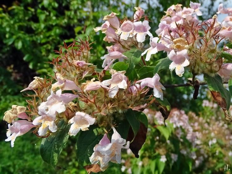 2021-06-19 LüchowSss Garten Perlmuttstrauch (Kolkwitzia amabilis)