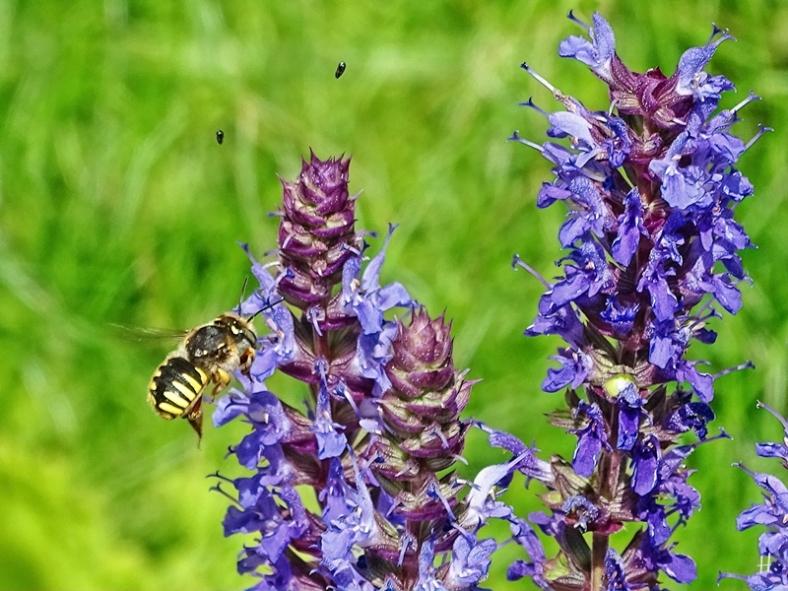 2021-06-20 LüchowSss Garten Hain- od. Steppensalbei ( Salvia nemorosa ) + Garten-Wollbiene (Anthidium manicatum)