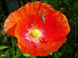 2021-06-20 LüchowSss Garten Klatschmohn (Papaver rhoeas) Seidenmohn + Graugrüne Schenkelkäfer (Oedemera virescens)