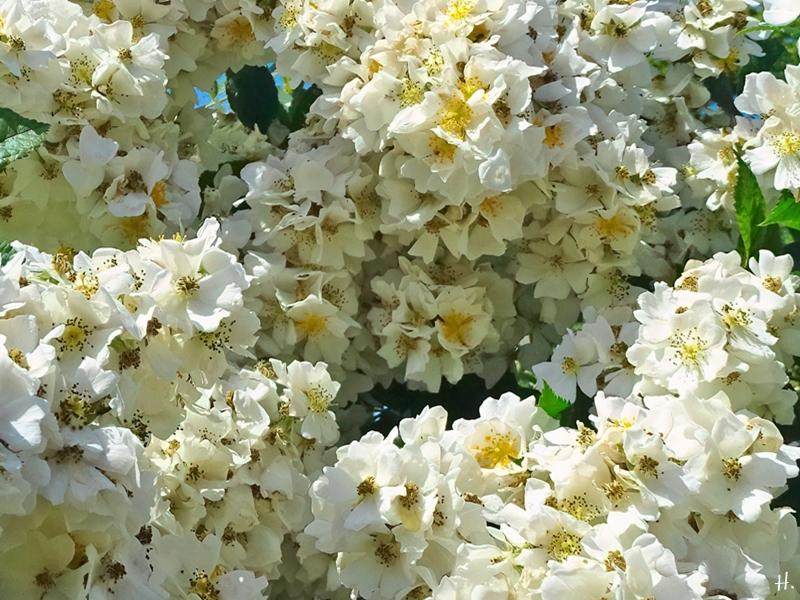 2021-06-20 LüchowSss Garten vomi Büschelrose (Rosa multiflora) (1)