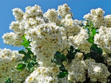 2021-06-20 LüchowSss Garten vomi Büschelrose (Rosa multiflora) (2)