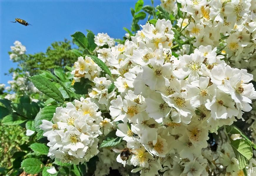 2021-06-20 LüchowSss Garten vomi Büschelrose (Rosa multiflora) + Baumhummel + Schwebfliege
