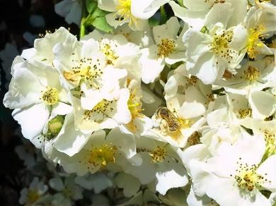 2021-06-20 LüchowSss Garten vomi Büschelrose (Rosa multiflora) + Gebänderte Furchenbiene (Halictus tumulorum)