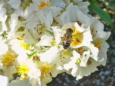 2021-06-20 LüchowSss Garten vomi Büschelrose (Rosa multiflora) + Gemeine Keilfleckschwebfliege (Eristalis pertinax) (2)